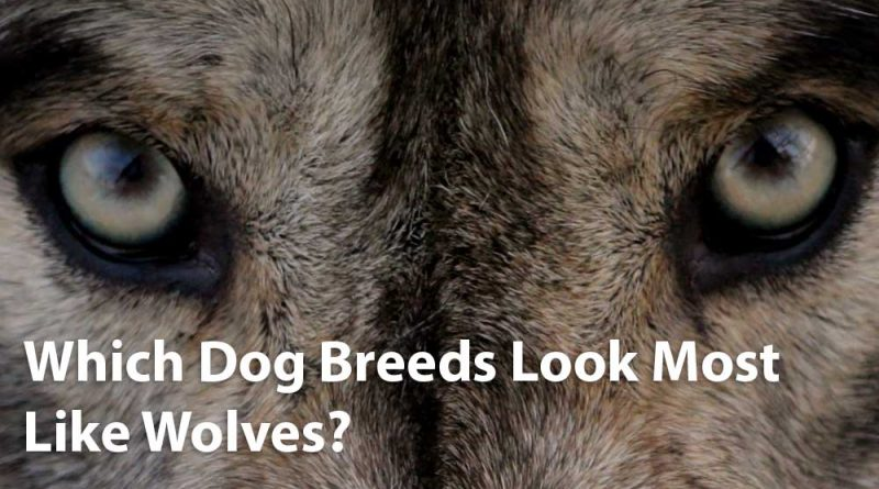 Perros que parecen lobos    10 perros con aspecto de lobo