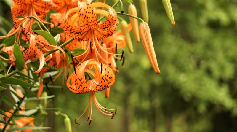 Close-up image of an orange tiger lily with trees in the background.
