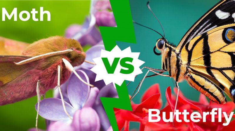 Polilla vs mariposa: las 8 diferencias clave