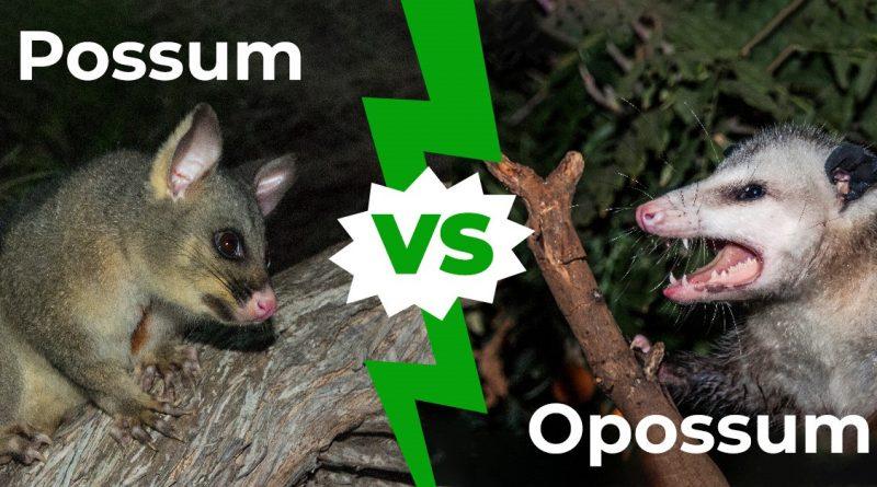Possum vs Opossum: Cómo decirlo y cómo diferenciarlo