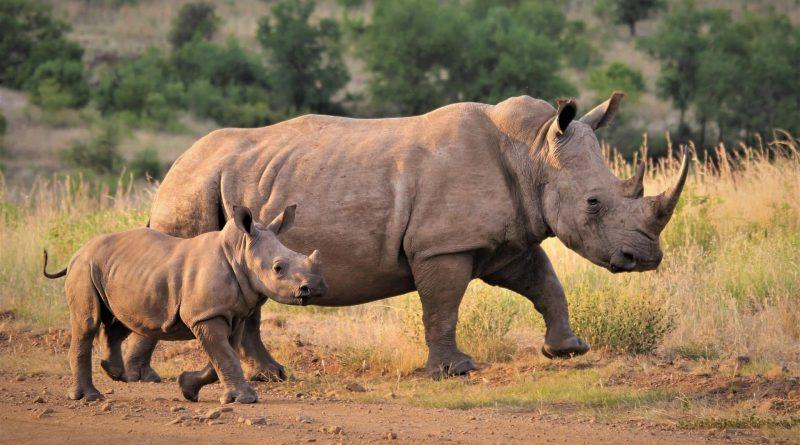 Protección de rinocerontes: nueva iniciativa