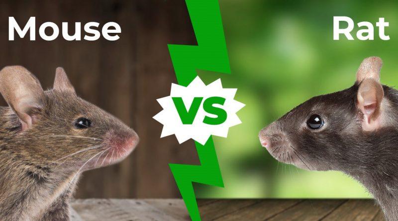 Ratón vs rata: 5 diferencias principales explicadas