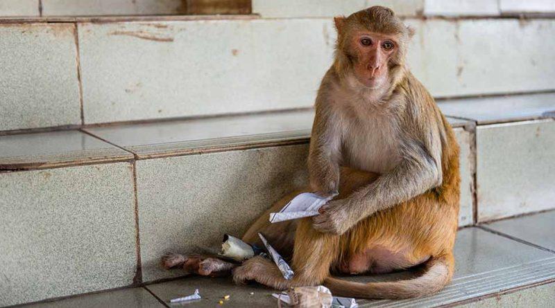 Solo quedan 200 del mono recientemente descubierto