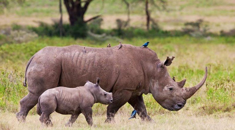 Sudáfrica intensificará los esfuerzos con las comunidades para la conservación del rinoceronte