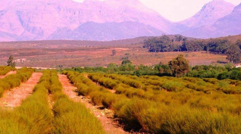 """Té Rooibos: té """"mágico"""" endémico de Sudáfrica"""