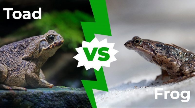 Toad vs Frog: las seis diferencias clave explicadas