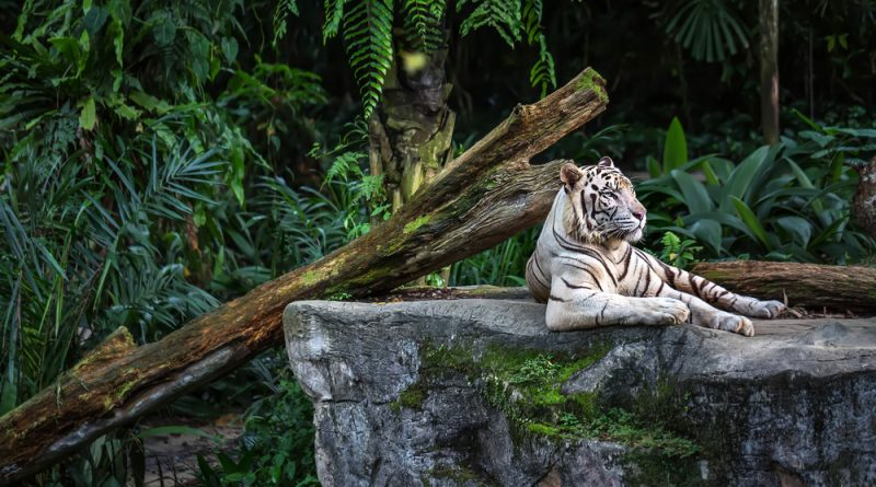 A white tiger laying on a rock near a log with green foliage in the background.