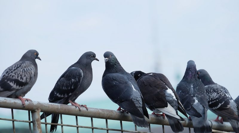 Six pigeons perched on a rusty metal chain-link fence.
