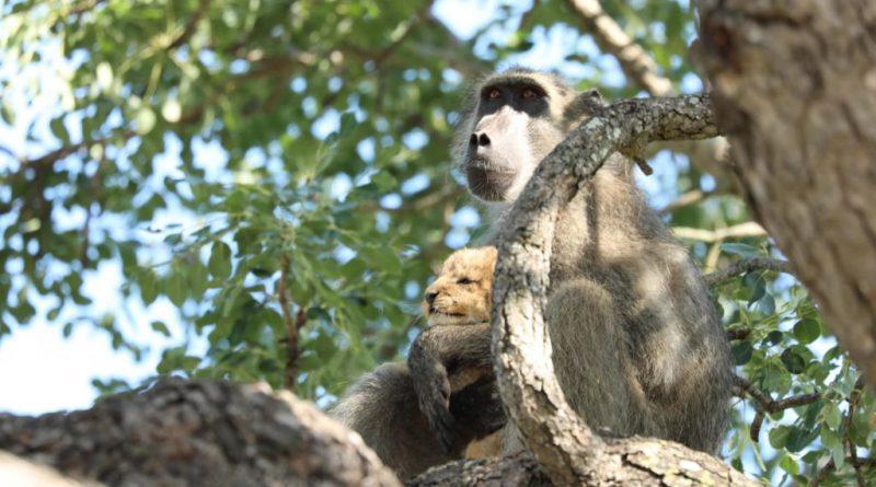 Un babuino cuida a un pequeño cachorro de león