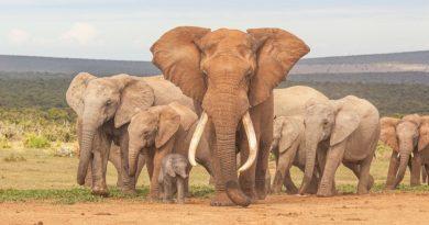 Vida útil de los elefantes: ¿Cuánto tiempo viven los elefantes?