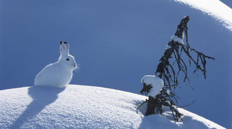 An Arctic hare sitting on a mound of white snow with a tree branch poking out.