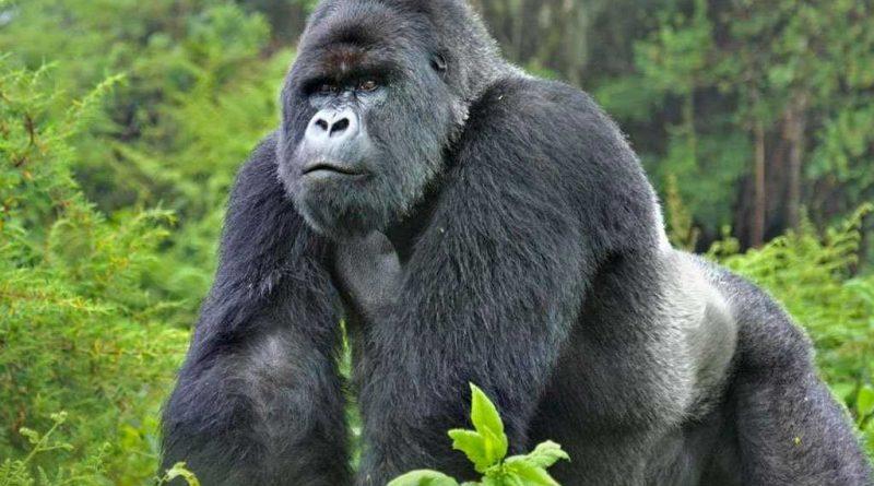 explosión de nacimientos en la familia de los gorilas