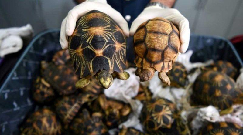 más de 500 tortugas incautadas por la Aduana