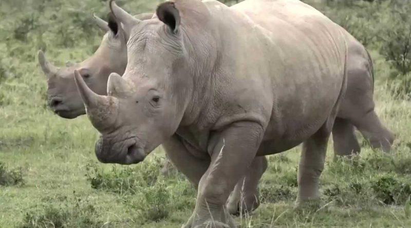 una nueva estrategia para disuadir a los cazadores furtivos de rinocerontes